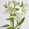 Alstroemeria Virginia (Bunch of 10) Online