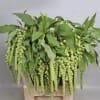 Amaranthus Viridis (Bunch of 5)