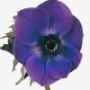 Anemone Galil Blue (Bunch of 10) Online