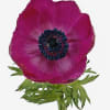 Anemone Galil Purple (Bunch of 10)