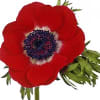 Anemone Galil Red (Bunch of 10)