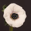 Anemone Galil White (Bunch of 10)