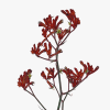 Anigozanthos Bush Ruby (Bunch of 10)