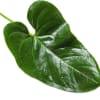 Anthurium Leaf (Bunch of 10) Online