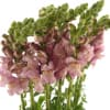 Antirrhinum Maryland Lavender (Bunch of 10) Online