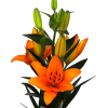 Asiatic Lilium Heraklion (Bunch of 10) Online