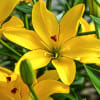 Asiatic Lilium Yellow Cocotte (Bunch of 10) Online