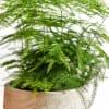 Asparagus Fern (Bunch of 10) Online