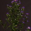 Aster Caitlyn (Bunch of 10)