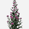 Aster Carmine (Bunch of 10) Online