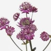 Astrantia Star or Fire (Bunch of 10)