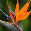 Birds of Paradise (Bunch of 10) Online