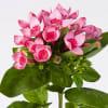 Bouvardia Major Hot Pink (Bunch of 10)