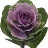 Brassica Crane Ruby Purple (per Stem)