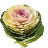 Brassica Crane Ruby White (per Stem)