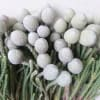 Brunia Laevis White (Bunch of 10)