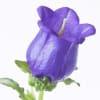 Campanula Bellflower Champion Lavender (Bunch of 10) Online