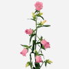 Campanula Medium Champion Pink (Bunch of 10) Online
