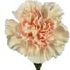 Carnation Apple Tea (Bunch of 20) Online