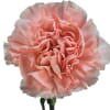 Carnation Arbeli (Bunch of 20) Online