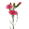 Carnation Barbara (Bunch of 20) Online
