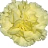 Carnation Buttermilk (Bunch of 20) Online