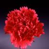 Carnation Castellaro (Bunch of 20) Online
