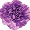 Carnation Florigene Moonaqua (Bunch of 20) Online