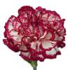 Carnation Kino White Crimson (Bunch of 20) Online