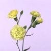 Carnation Spr. Ballentyne (Bunch of 20) Online