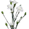 Carnation Spr. Bridal White (Bunch of 20) Online