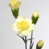 Carnation Spr. Cantate (Bunch of 20) Online