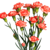 Carnation Spr. Guadaloupe Select (Bunch of 20) Online