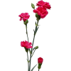 Carnation Spr. Hot Pink (Bunch of 20) Online