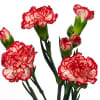 Carnation Spr. Minuetto Hf (Bunch of 20) Online