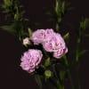 Carnation Spr. Raffine Odille (Bunch of 20) Online