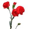 Carnation Spr. Scarlet (Bunch of 20) Online