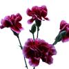 Carnation Spr. Tessino (Bunch of 20) Online