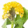 Celosia Inca (Bunch of 5) Online