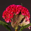 Celosia Rima (Bunch of 5) Online