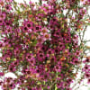 Chamelaucium Emma (Bunch of 10) Online