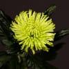 Chrysanthemum Anastasia Dark Lime (Bunch of 10) Online