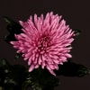 Chrysanthemum Anastasia Lilac (Bunch of 10) Online