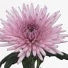 Chrysanthemum Anastasia Pink (Bunch of 10) Online