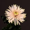 Chrysanthemum Anastasia Star Pink (Bunch of 10) Online