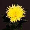Chrysanthemum Anastasia Sunny Yellow (Bunch of 10) Online