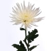 Chrysanthemum Anastasia White (Bunch of 10) Online