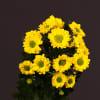 Chrysanthemum Aviso (Bunch of 10) Online