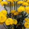 Chrysanthemum Bumble Bee (Bunch of 10) Online