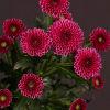 Chrysanthemum Calimero Dark Pink (Bunch of 10) Online